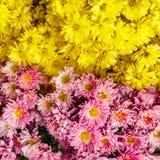 Ρόδινα και κίτρινα λουλούδια mum για το υπόβαθρο Στοκ Εικόνα
