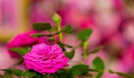 Ρόδινα και πορφυρά τριαντάφυλλα για τη ρομαντική ημέρα βαλεντίνων στοκ φωτογραφία