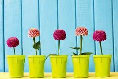 Ρόδινα και φούξια λουλούδια της Zinnia στα δοχεία στο κυανό και ξύλινο υπόβαθρο στοκ φωτογραφίες με δικαίωμα ελεύθερης χρήσης