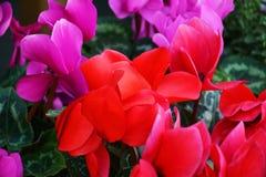 Ρόδινα κόκκινα ιώδη λουλούδια, ζωηρόχρωμα λουλούδια και φύλλα, φυσικό υπόβαθρο Στοκ Εικόνες