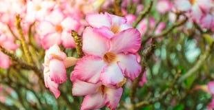 Ρόδινα λουλούδια αζαλεών, άνθιση στοκ φωτογραφία με δικαίωμα ελεύθερης χρήσης