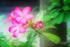 Ρόδινα λουλούδια αζαλεών ή λουλούδια κρίνων impala στον κήπο Στοκ φωτογραφία με δικαίωμα ελεύθερης χρήσης
