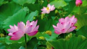Ρόδινα λουλούδια ανθών λωτού στοκ εικόνες