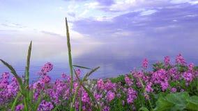Ρόδινα λουλούδια από τη λίμνη Οντάριο στο ηλιοβασίλεμα Στοκ Εικόνες