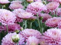 Ρόδινα λουλούδια αστέρων Στοκ Φωτογραφία