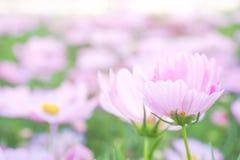 Ρόδινα λουλούδια θαμπάδων Στοκ Φωτογραφία