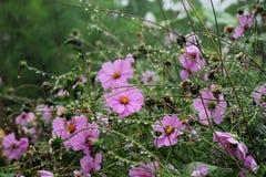 ρόδινα λουλούδια κόσμου στον κήπο και το μαύρο υπόβαθρο Στοκ εικόνα με δικαίωμα ελεύθερης χρήσης