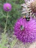 Ρόδινα λουλούδια με τις μέλισσες Bumble Στοκ Φωτογραφία