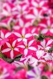 Ρόδινα λουλούδια πετουνιών στοκ εικόνα με δικαίωμα ελεύθερης χρήσης
