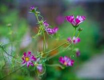 Ρόδινα λουλούδια που εκτίθενται λεπτομερώς στον κήπο στοκ εικόνες