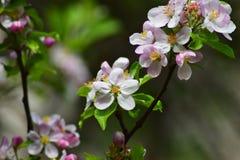 Ρόδινα λουλούδια σε ένα δέντρο της Apple κλάδων δέντρων και πράσινα φύλλα Στοκ Φωτογραφίες