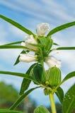 Ρόδινα λουλούδια σουσαμιού Στοκ φωτογραφίες με δικαίωμα ελεύθερης χρήσης