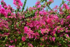 Ρόδινα λουλούδια στην Αίγυπτο στοκ φωτογραφία με δικαίωμα ελεύθερης χρήσης