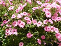 Ρόδινα λουλούδια στην πλήρη άνθιση Στοκ εικόνες με δικαίωμα ελεύθερης χρήσης