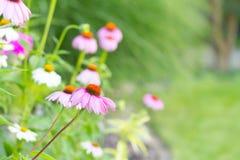 Ρόδινα λουλούδια στο θερινό κήπο Στοκ φωτογραφία με δικαίωμα ελεύθερης χρήσης