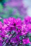 Ρόδινα λουλούδια στο μαλακό ύφος για το υπόβαθρο Στοκ Φωτογραφία