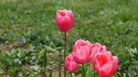 Ρόδινα λουλούδια τουλιπών του υβριδίου Menton που τινάζει ήπια στον ήπιο αέρα άνοιξη, 4K φιλμ μικρού μήκους