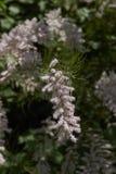 Ρόδινα λουλούδια του δέντρου gallica Tamarix Στοκ φωτογραφίες με δικαίωμα ελεύθερης χρήσης
