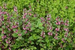 Ρόδινα λουλούδια του επισημασμένου νεκρός-nettle στοκ φωτογραφίες με δικαίωμα ελεύθερης χρήσης