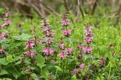 Ρόδινα λουλούδια του επισημασμένου νεκρός-nettle στοκ εικόνα με δικαίωμα ελεύθερης χρήσης