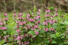 Ρόδινα λουλούδια του επισημασμένου νεκρός-nettle στοκ φωτογραφία με δικαίωμα ελεύθερης χρήσης