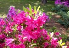 Ρόδινα λουλούδια Όμορφος κήπος λουλουδιών στοκ εικόνες με δικαίωμα ελεύθερης χρήσης