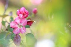 Ρόδινα λουλούδια Apple-δέντρων στο πράσινο υπόβαθρο Στοκ φωτογραφίες με δικαίωμα ελεύθερης χρήσης