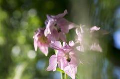 Ρόδινα λουλούδια columbine Aquilegia vulgaris, κοινά στην άνθιση Στοκ Φωτογραφία