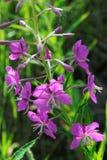 Ρόδινα λουλούδια Epilobium ιτιά-χορταριών Στοκ Εικόνες