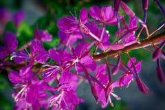 Ρόδινα λουλούδια Epilobium ιτιά-χορταριών Στοκ εικόνες με δικαίωμα ελεύθερης χρήσης