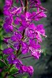 Ρόδινα λουλούδια Epilobium ιτιά-χορταριών Στοκ Φωτογραφίες