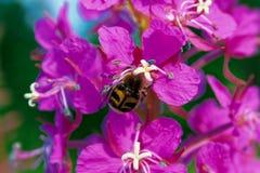 Ρόδινα λουλούδια Epilobium ιτιά-χορταριών Στοκ φωτογραφία με δικαίωμα ελεύθερης χρήσης