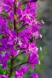 Ρόδινα λουλούδια Epilobium ιτιά-χορταριών Στοκ φωτογραφίες με δικαίωμα ελεύθερης χρήσης