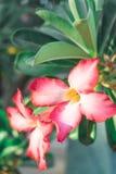 Ρόδινα λουλούδια, λουλούδια frangipani και πράσινα φύλλα στοκ φωτογραφία