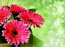 Ρόδινα λουλούδια gerber Στοκ Φωτογραφία