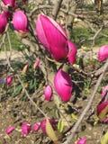 Ρόδινα λουλούδια Magnolia, οφθαλμοί, λεπτομέρεια Στοκ Φωτογραφία