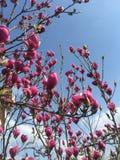 Ρόδινα λουλούδια Magnolia στην άνθιση Στοκ εικόνα με δικαίωμα ελεύθερης χρήσης