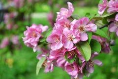 Ρόδινα λουλούδια Malus Pumila της Apple κερασιών Στοκ εικόνα με δικαίωμα ελεύθερης χρήσης