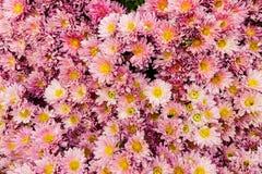 Ρόδινα λουλούδια Mum με τα κίτρινα κέντρα Στοκ φωτογραφίες με δικαίωμα ελεύθερης χρήσης