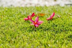 Ρόδινα λουλούδια Plumeria στην πράσινη χλόη στον κήπο Στοκ φωτογραφία με δικαίωμα ελεύθερης χρήσης