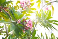 Ρόδινα λουλούδια plumeria Frangipani σε έναν κλάδο δέντρων Στοκ φωτογραφία με δικαίωμα ελεύθερης χρήσης