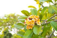 Ρόδινα λουλούδια plumeria Frangipani σε έναν κλάδο δέντρων Στοκ Εικόνες