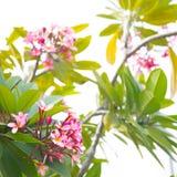 Ρόδινα λουλούδια plumeria Frangipani σε έναν κλάδο δέντρων Στοκ εικόνα με δικαίωμα ελεύθερης χρήσης