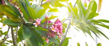Ρόδινα λουλούδια plumeria Frangipani σε έναν κλάδο δέντρων Στοκ Εικόνα