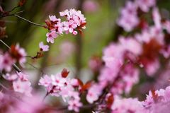 Ρόδινα λουλούδια sakura στο άνθος, λεπτομέρεια στοκ φωτογραφία με δικαίωμα ελεύθερης χρήσης