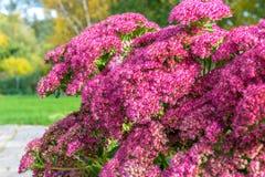 Ρόδινα λουλούδια Sedum Spectabile Στοκ Εικόνες