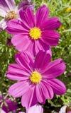 Ρόδινα οικογενειακά fompositae λουλουδιών κόσμου Στοκ Φωτογραφία