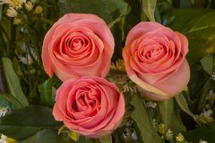 Ρόδινα τριαντάφυλλα λουλουδιών στοκ φωτογραφία με δικαίωμα ελεύθερης χρήσης