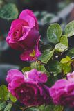 Ρόδινα τριαντάφυλλα με τις πτώσεις βροχής που ανθίζουν στον κήπο Στοκ Εικόνες