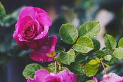 Ρόδινα τριαντάφυλλα με τις πτώσεις βροχής που ανθίζουν στον κήπο Στοκ Φωτογραφία
